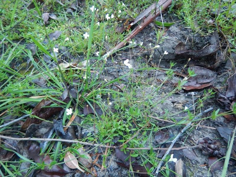 Mitrasacme polymorpha at Meroo National Park - 7 Oct 2020