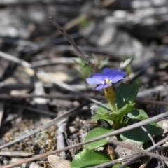 Dampiera stricta (TBC) at - 11 Oct 2020 by pdmantis