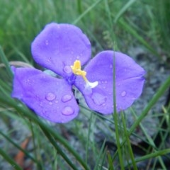 Patersonia sericea var. sericea (Silky Purple Flag) at Meroo National Park - 7 Oct 2020 by GLemann