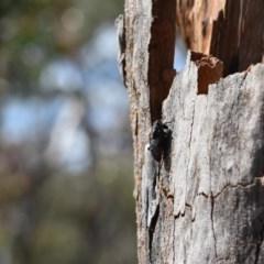 Unidentified Cicada (Hemiptera, Cicadoidea) (TBC) at - 11 Oct 2020 by pdmantis