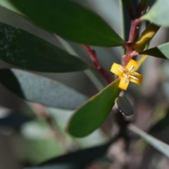Persoonia glaucescens (Mittagong Geebung) at Welby, NSW - 22 Jul 2020 by pdmantis