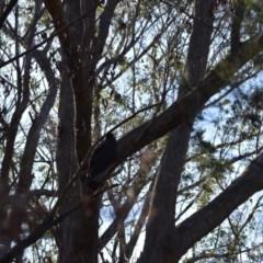 Zanda funereus (Yellow-tailed Black-Cockatoo) at Welby - 22 Jul 2020 by pdmantis