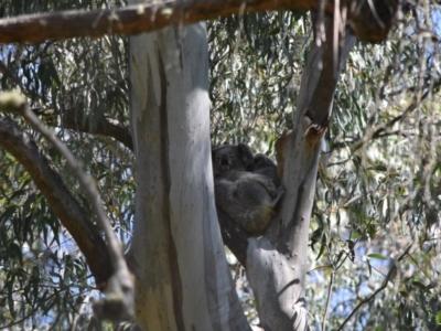 Phascolarctos cinereus (Koala) at - 12 Sep 2020 by pdmantis
