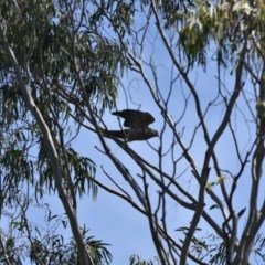 Aviceda subcristata (Pacific Baza) at Bowral, NSW - 12 Sep 2020 by pdmantis