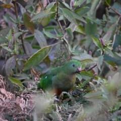 Alisterus scapularis (Australian King-Parrot) at Bowral - 12 Sep 2020 by pdmantis