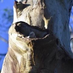 Cacatua sanguinea (Little Corella) at Bowral - 12 Sep 2020 by pdmantis