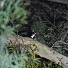 Petauroides volans (Greater Glider) at Bowral - 29 Sep 2020 by pdmantis