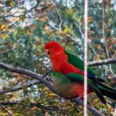 Alisterus scapularis (Australian King-Parrot) at Melba, ACT - 11 Oct 2020 by Bron