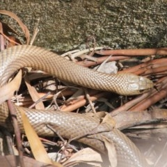 Pseudonaja textilis (Eastern Brown Snake) at ANBG - 11 Oct 2020 by Tim L