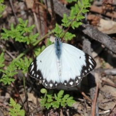 Belenois java (Caper White) at Federal Golf Course - 12 Oct 2020 by LisaH