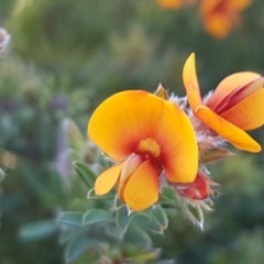 Pultenaea procumbens (Bush Pea) at Crace Grasslands - 12 Oct 2020 by tpreston