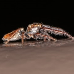 Opisthoncus sp. (genus) (Unidentified Opisthoncus jumping spider) at ANBG - 10 Oct 2020 by rawshorty