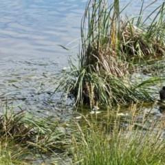 Porphyrio melanotus (Australasian Swamphen) at Yerrabi Pond - 11 Oct 2020 by TrishGungahlin