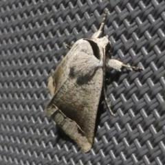 Pantydia (genus) at Kambah, ACT - 11 Oct 2020