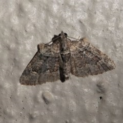 Phrissogonus laticostata (Apple looper moth) at Kambah, ACT - 11 Oct 2020 by HarveyPerkins