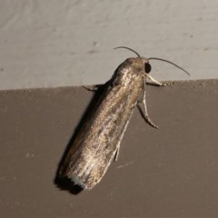 Athetis tenuis (A Noctuid moth) at Kambah, ACT - 11 Oct 2020 by HarveyPerkins