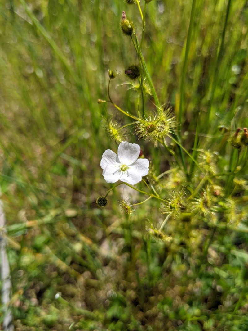 Drosera peltata at Albury - 12 Oct 2020