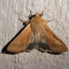 Helicoverpa punctigera (Australian bollworm, Native budworm) at Kambah, ACT - 11 Oct 2020 by HarveyPerkins