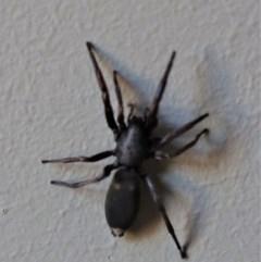 Lampona sp. (genus) (White-tailed spider) at Gundaroo, NSW - 12 Oct 2020 by Gunyijan