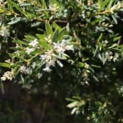 Leucopogon parviflorus (Coast Beard heath) at Broulee Island Nature Reserve - 27 Sep 2020 by MattFox