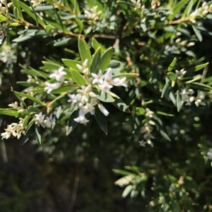 Leucopogon parviflorus at Broulee Island Nature Reserve - 27 Sep 2020