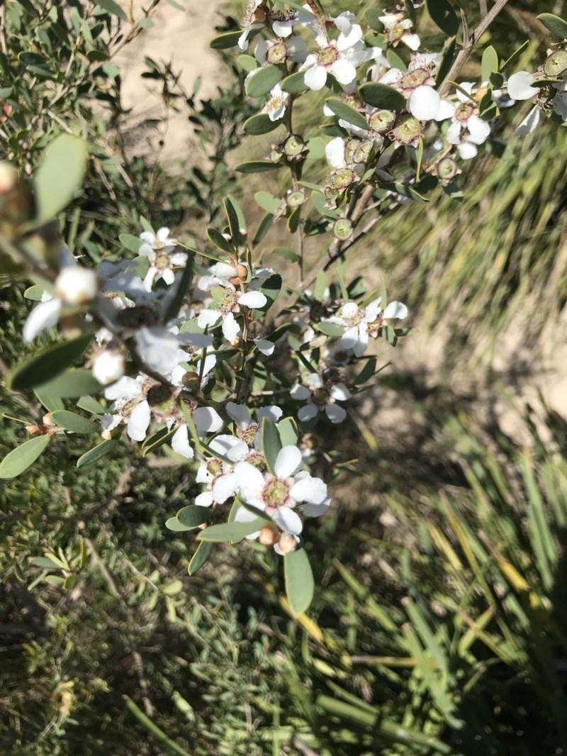 Leptospermum laevigatum at Broulee Island Nature Reserve - 27 Sep 2020