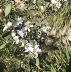 Leptospermum laevigatum (Coast Teatree) at Broulee Island Nature Reserve - 27 Sep 2020 by MattFox