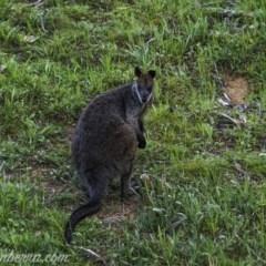 Wallabia bicolor (Swamp Wallaby) at Cuumbeun Nature Reserve - 3 Oct 2020 by BIrdsinCanberra