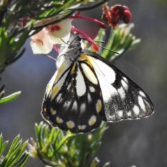 Belenois java (Caper White) at Lower Cotter Catchment - 12 Oct 2020 by JohnBundock