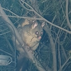 Trichosurus vulpecula (Common Brushtail Possum) at Harrison, ACT - 11 Oct 2020 by Alright