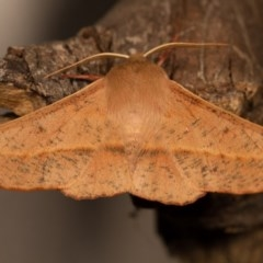 Antictenia punctunculus (A geometer moth) at Melba, ACT - 16 Oct 2013 by kasiaaus