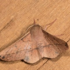 Antictenia punctunculus (A geometer moth) at Melba, ACT - 1 Nov 2018 by kasiaaus