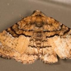 Aporoctena (genus) (A Geometrid moth) at Melba, ACT - 12 Oct 2014 by kasiaaus