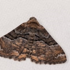 Aporoctena (genus) (A Geometrid moth) at Melba, ACT - 4 Nov 2018 by kasiaaus