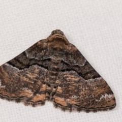 Aporoctena (genus) (A Geometrid moth) at Melba, ACT - 4 Nov 2018 by kasiaaus