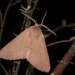 Arhodia lasiocamparia (Pink Arhodia) at Bimberi Nature Reserve - 7 Feb 2019 by kasiaaus