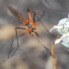 Harpobittacus australis (Hangingfly) at Black Mountain - 12 Oct 2020 by Harrisi