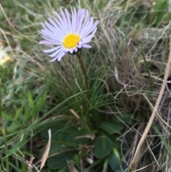 Brachyscome spathulata (Coarse Daisy, Spoon-leaved Daisy) at Namadgi National Park - 11 Oct 2020 by JaneR