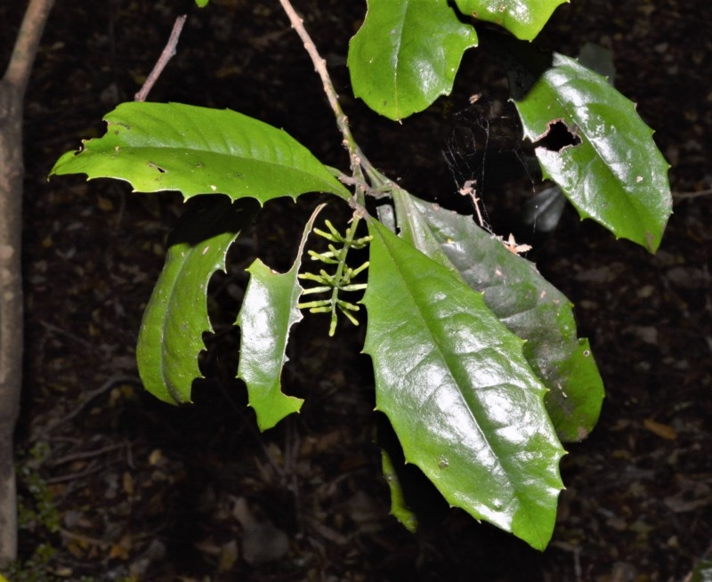 Polyosma cunninghamii at Cambewarra Range Nature Reserve - 12 Oct 2020