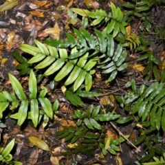 Blechnum wattsii (Hard Water Fern) at Cambewarra Range Nature Reserve - 12 Oct 2020 by plants