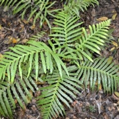 Blechnum cartilagineum (Gristle fern) at Cambewarra Range Nature Reserve - 12 Oct 2020 by plants