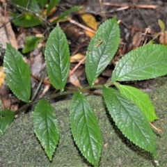 Elatostema reticulatum (Rainforest Spinach) at Cambewarra Range Nature Reserve - 12 Oct 2020 by plants