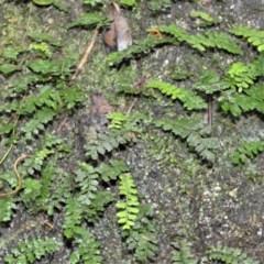 Arthropteris beckleri at Cambewarra Range Nature Reserve - 12 Oct 2020 by plants