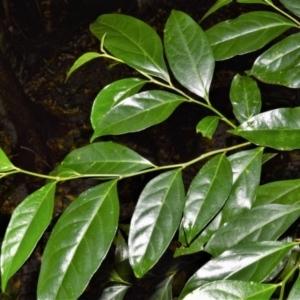 Citronella moorei at Cambewarra Range Nature Reserve - 12 Oct 2020