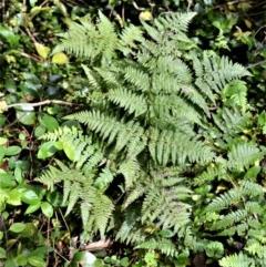 Hypolepis muelleri (Harsh Ground Fern) at Cambewarra Range Nature Reserve - 12 Oct 2020 by plants