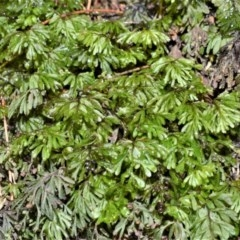 Hymenophyllum cupressiforme (Common Filmy Fern) at Cambewarra Range Nature Reserve - 12 Oct 2020 by plants