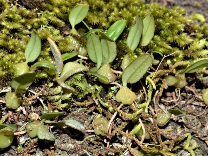 Bulbophyllum exiguum at Cambewarra Range Nature Reserve - 12 Oct 2020