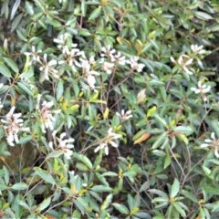 Quintinia sieberi (Possumwood) at Cambewarra Range Nature Reserve - 12 Oct 2020 by plants