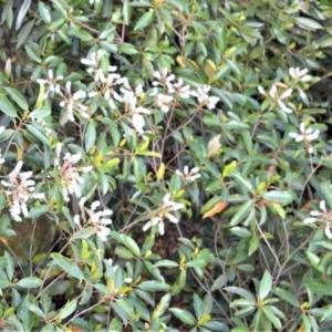 Quintinia sieberi at Cambewarra Range Nature Reserve - 12 Oct 2020