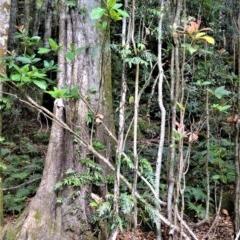 Sloanea australis (Maiden's Blush) at Cambewarra Range Nature Reserve - 12 Oct 2020 by plants